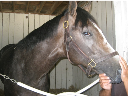 Unseen groom to right places hands on the nose of a large brown horse in a stall.