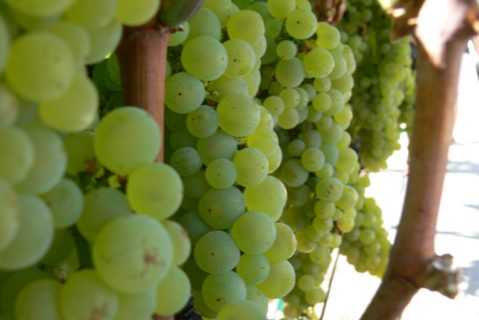 Close up photograph of grapes on the vine.