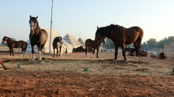 Horses graze in an arid field. A row of tents line the background.