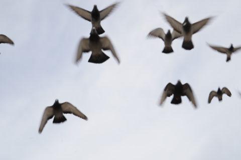 A flock of pigeons flies over head.
