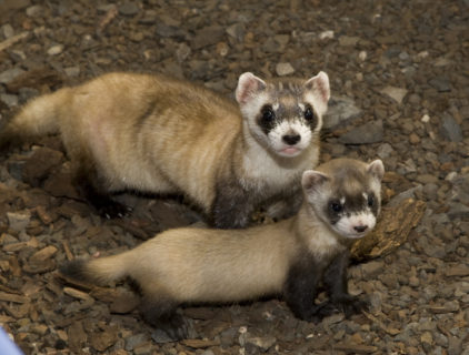 A mother ferret and her kit stand on woodchips. The mother looks directly at the camera.