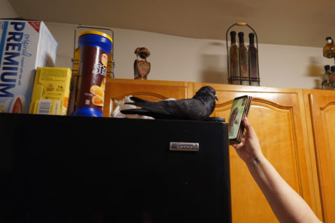 The pigeon and memer-of-the-family Negrito perches on top of the refrigerator while a person holds up a phone so that the pigeon can facetime with a human family member.