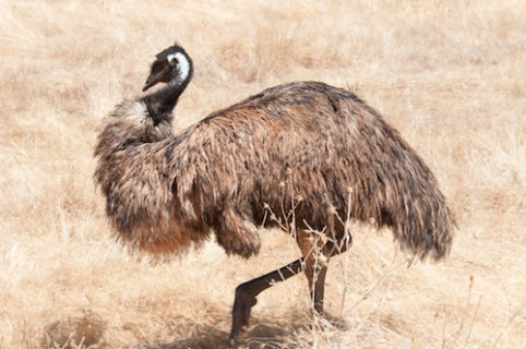 An emu squats and retracts its head. It is walking on dry, hay-like grass that is similar in color to the emu's feathers.