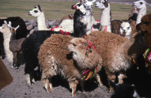 Llamas with ribbons tied around their ears and nexts huddle together.