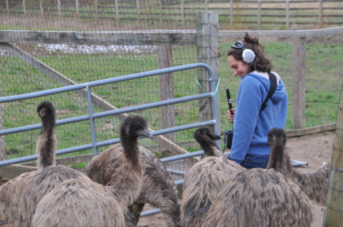 Author of this article Laurel B. Stymes stands in a corral with large headphones over her ears. She holds recording equiptment as emus surround her, and poke as the sound quipment that she has strapped across her shoulder.