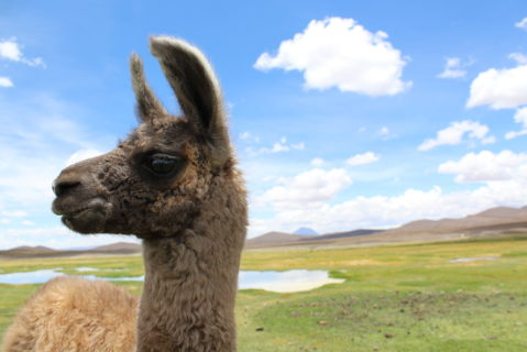 Close up of a llama that is looking to the left. Green fields, mountains, a small body of water, and a blue sky with puffy clouds line the background.