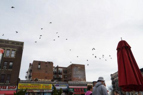 Flock of pigeons flies over buildings in Queens.