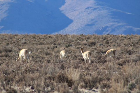 Four llamas stand in a pasture, with mountains rising up in the distance. Two have their heads down eating. The others stare out away from the camera.