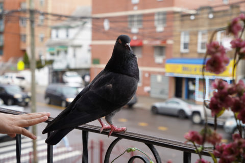 The pigeon is perched on the balcony railing, body facing the street but staring straight back at the camera.