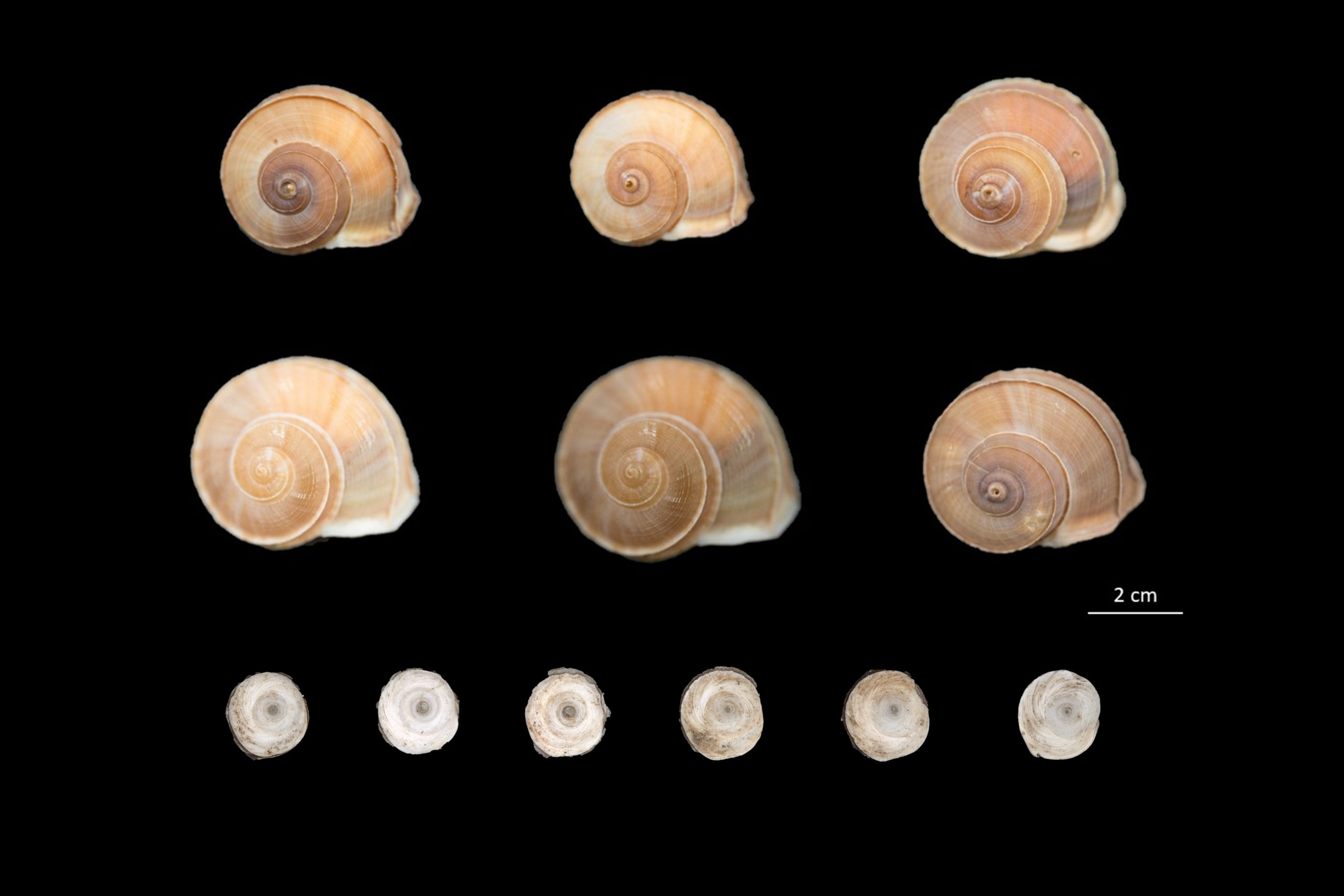 Photograph illustrating terrestrial snails with spiral shells in a light to dark brown color and small cream opercula samples.