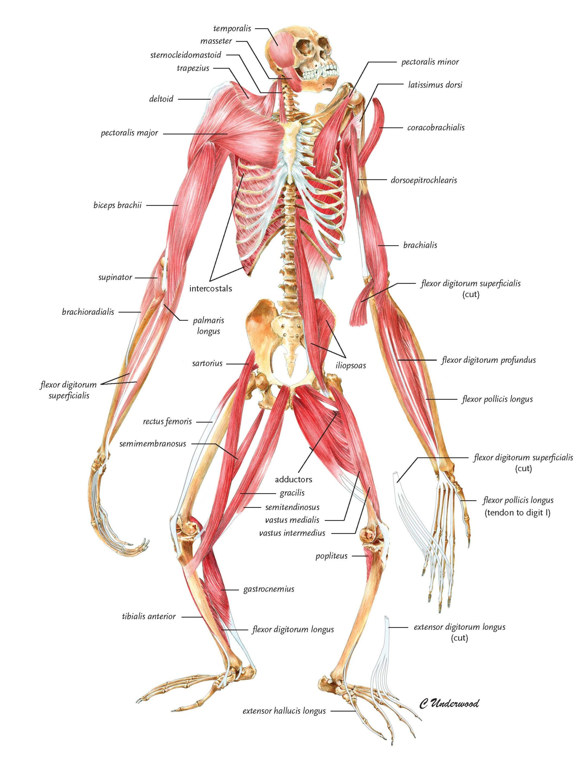 Illustration of a gibbon skeleton with muscle overlay.