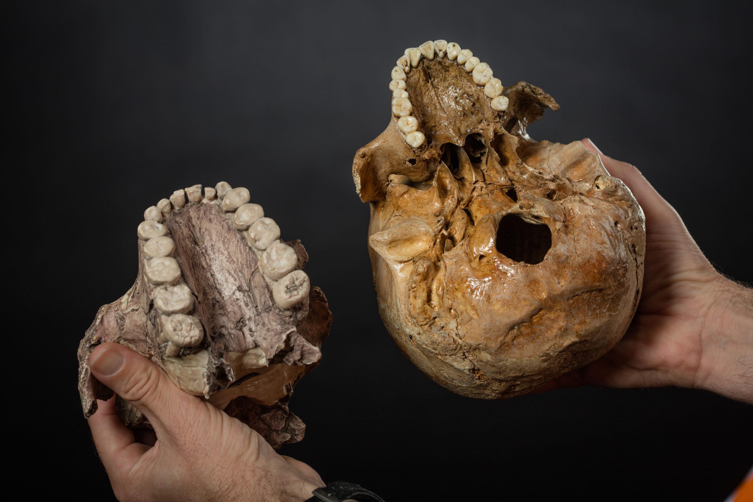 Photograph of a replica skull.