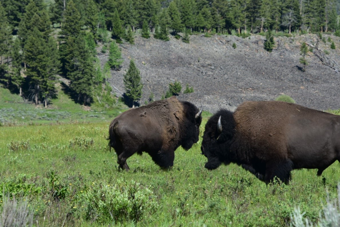Photograph of two bison
