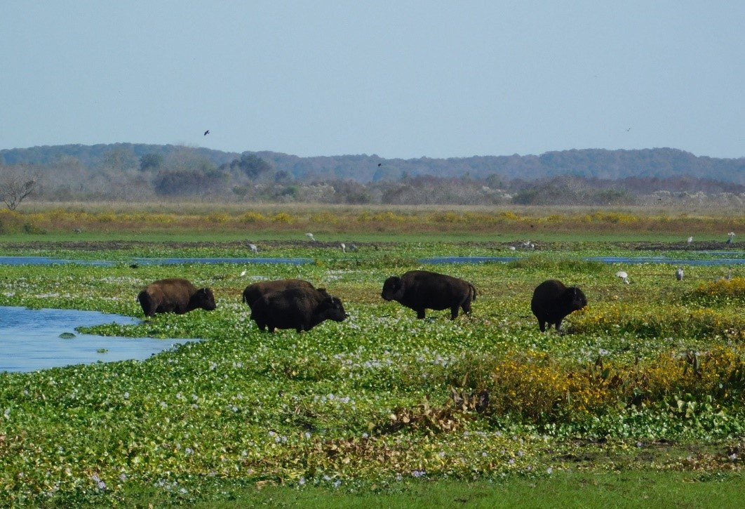 Photograph of five bison in a swampy field