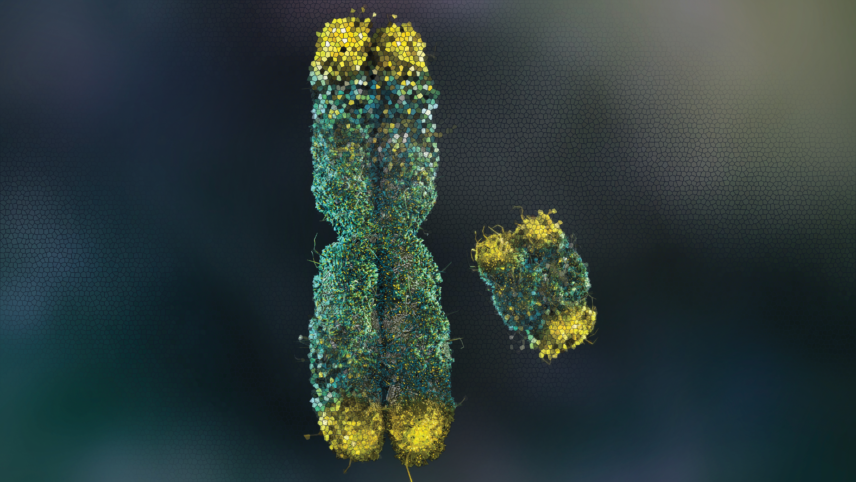 Rendering of an X and Y chromosome